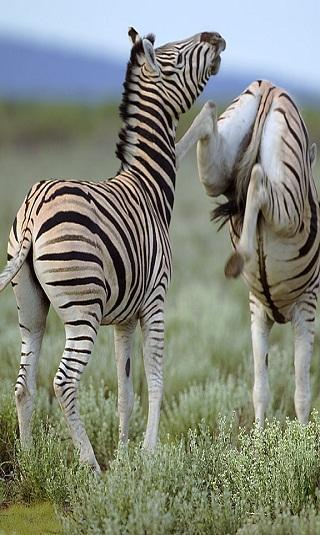 أقوى اللكمات والركلات في عالم الحيوان