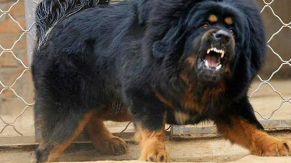 الصين تستنسخ أغلى الكلاب في العالم