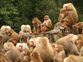 فرار جماعي لقردة من حديقة حيوانات