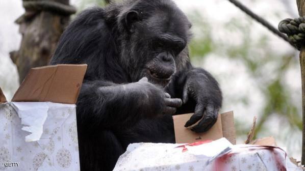 الشمبانزي.. العدوانية تزيد فرص الإنجاب