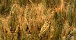 154.9 مليار ريال قيمة واردات اليمن من القمح في 2011م