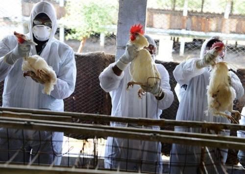 هولندا قد تعدم ملايين الدجاج بسبب مخاوف من تلوث البيض بمادة سامة