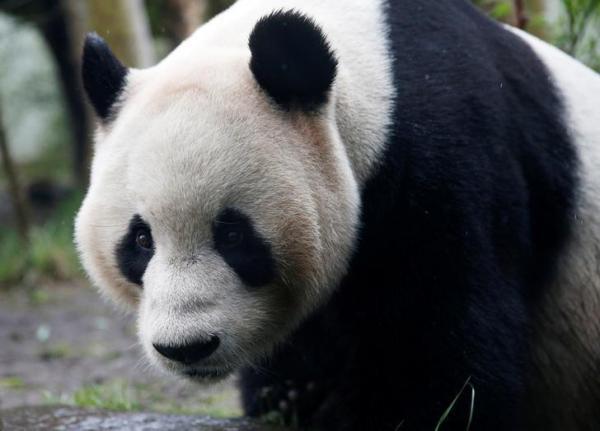 حديقة حيوان ادنبره: الباندا تيان تيان ربما تكون حاملا